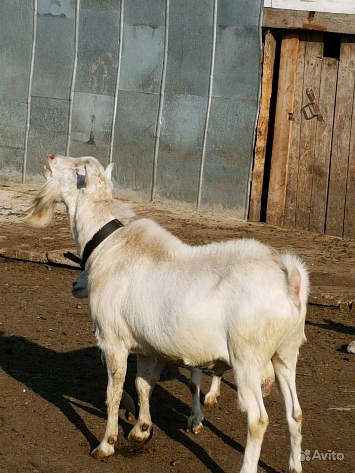 Зааненские козочки и козлы