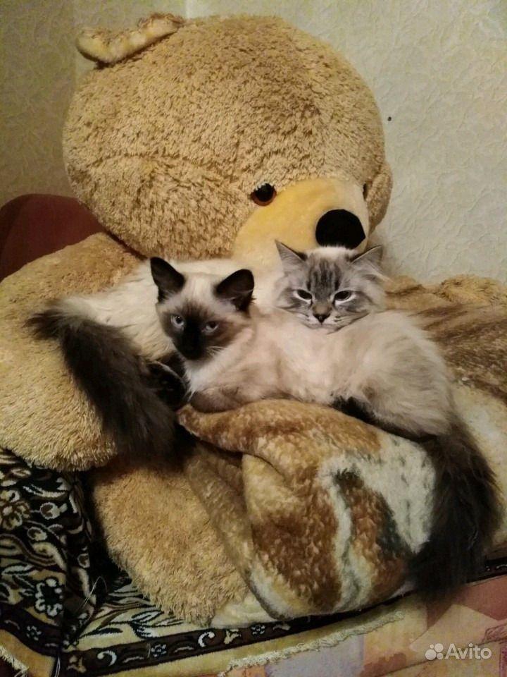 Кошечка сиамская в Златоусте - фотография № 2