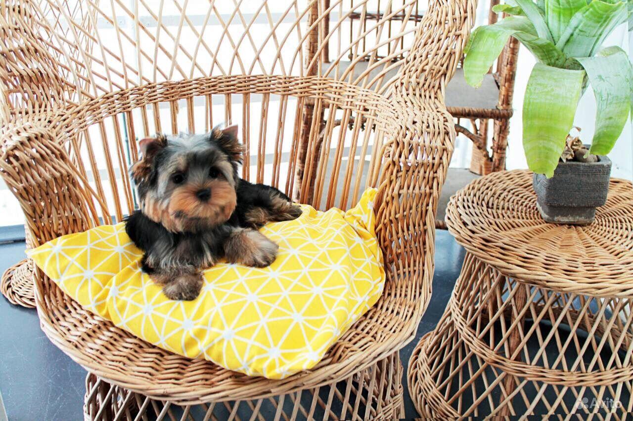 Йоркширский терьер -очень красивые щенки в Иваново - фотография № 3