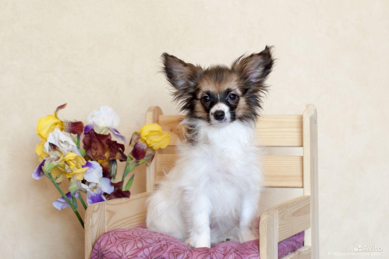 Изумительные щенки папийона в Москве - фотография № 7