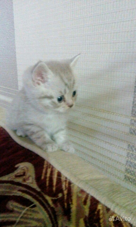 Британские котята в Саратове - фотография № 5