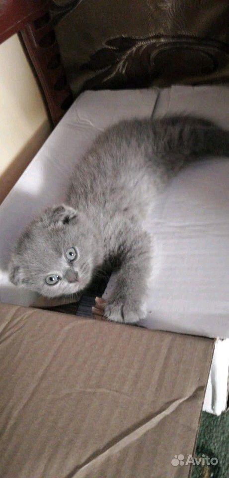 Британские котята в Краснодаре - фотография № 10