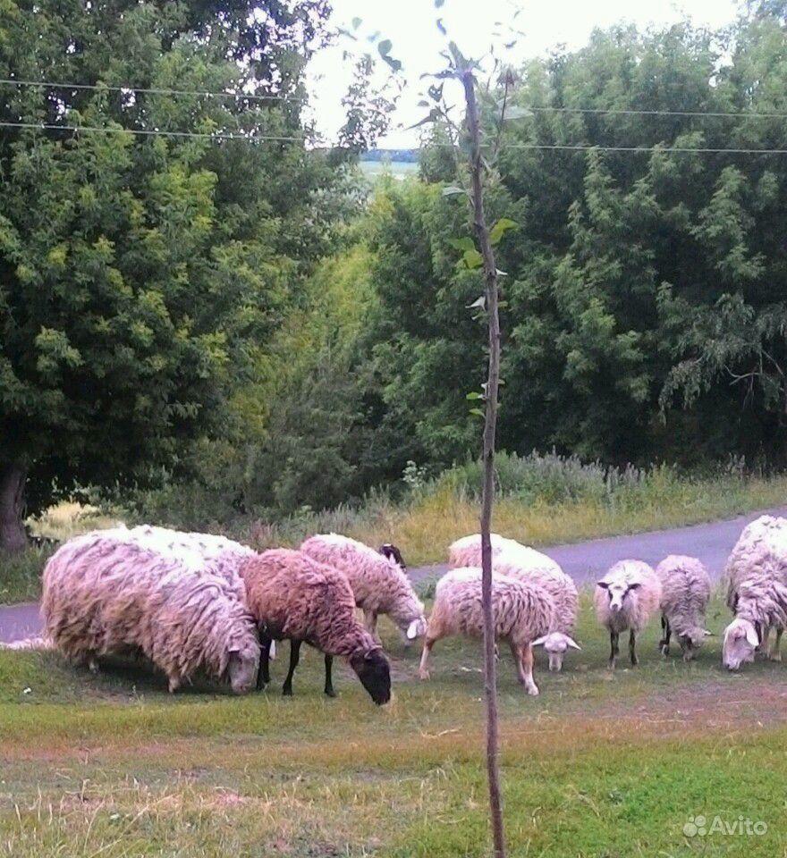 Овцы в Курчатове - фотография № 6