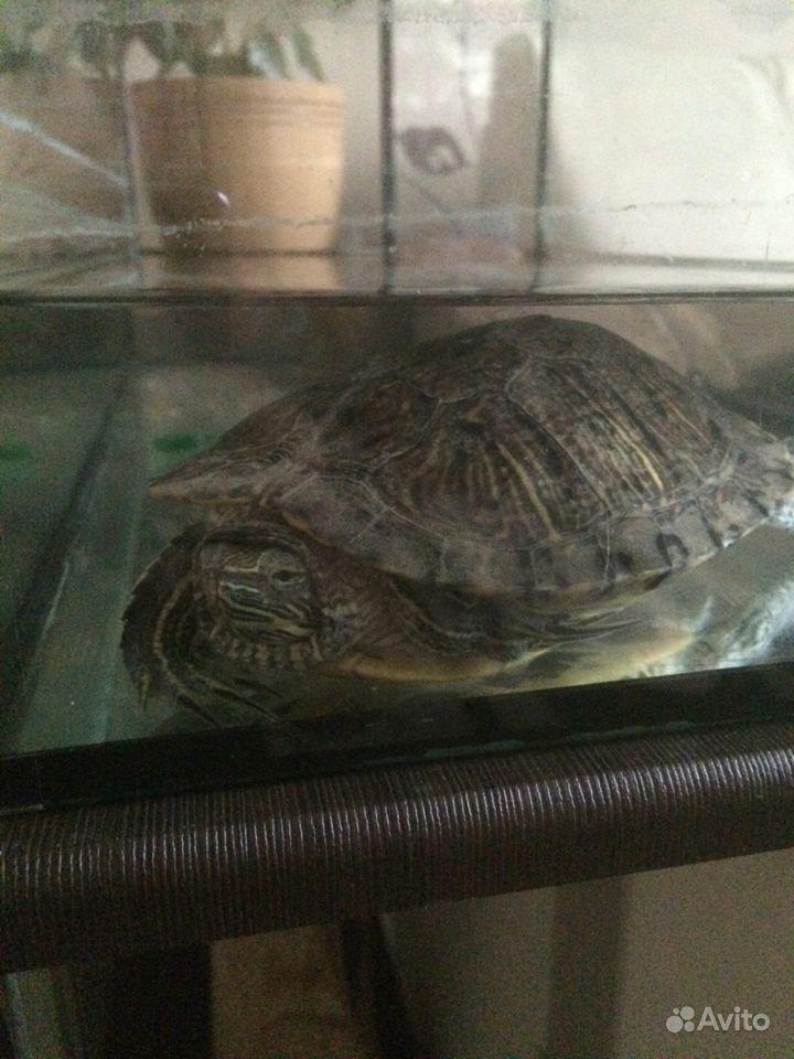 Черепаха краснощёкая