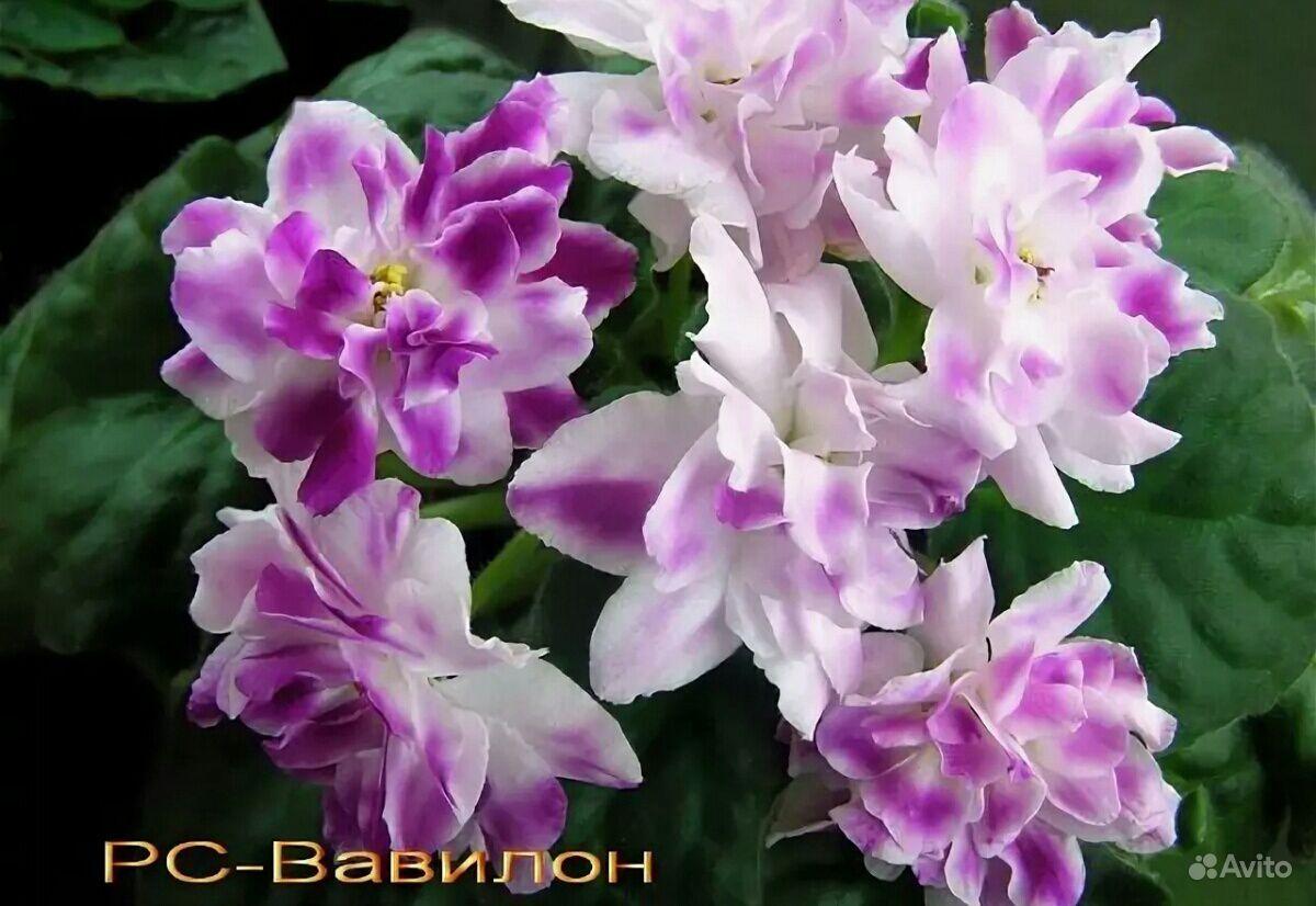 Набор фиалок купить на Зозу.ру - фотография № 7