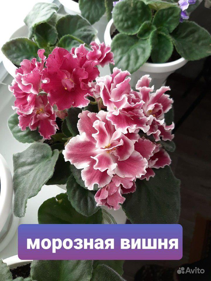 Фиалка купить на Зозу.ру - фотография № 10