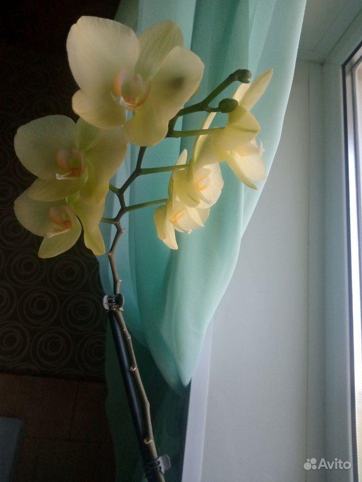 Орхидеи купить на Зозу.ру - фотография № 3