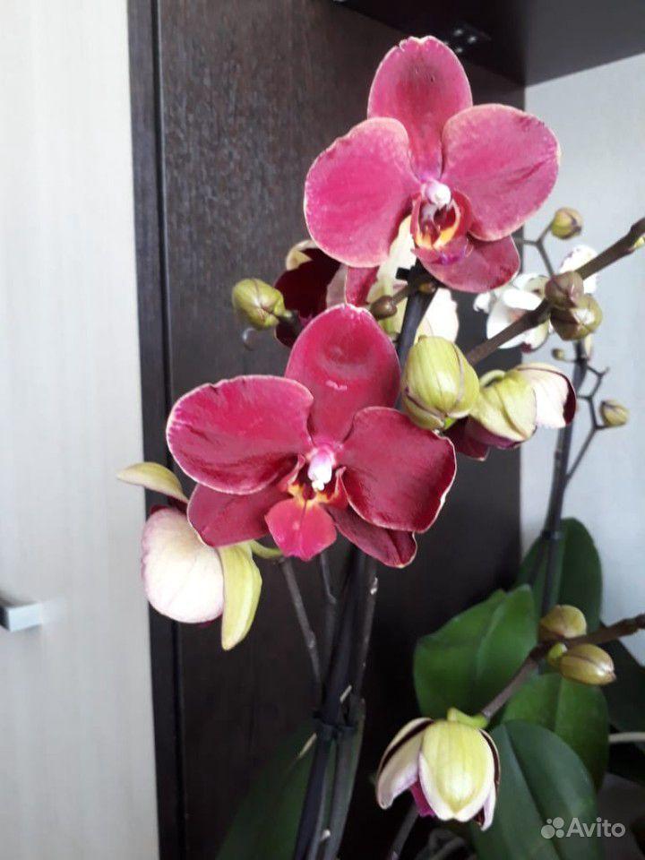 Орхидея фаленопсис купить на Зозу.ру - фотография № 5
