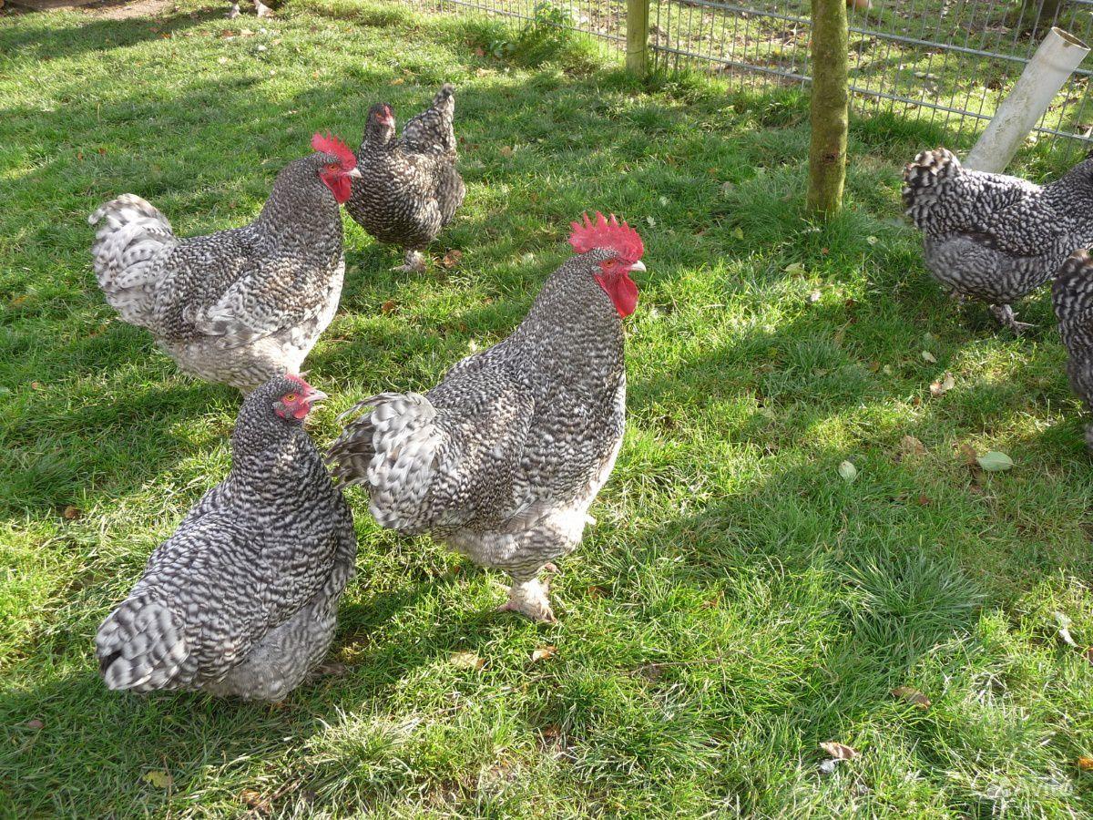 Цыплята Мехеленская кукушка купить на Зозу.ру - фотография № 3