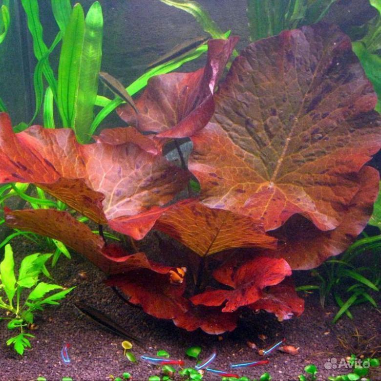 Аквариумное растение купить на Зозу.ру - фотография № 2