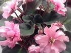 Фиалка розовая махровая стартер