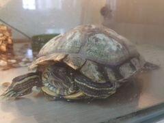 Аквариум, черепаха