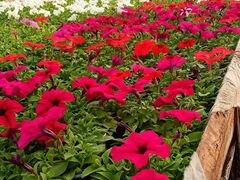 Цветы петуния и др