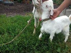 Продаю дойную козу с козочкой