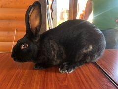Кролик самец 5 мес