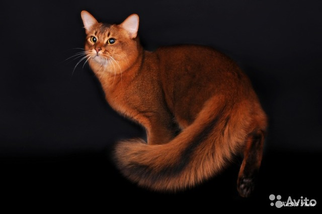 купить сомалийского котенка
