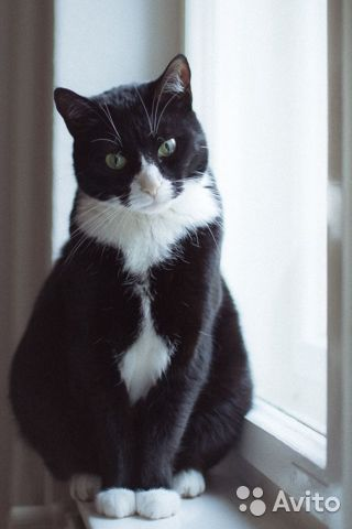 Найден котенок, черно-белый биколор смокинг купить 4