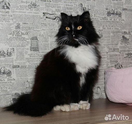 89137249811 Шикарная кошка мадам Мусьен