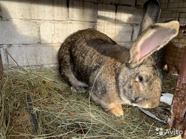 Кролики 89611918195 купить 3