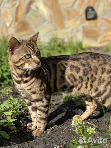 Бенгальский котик вязка  купить 2