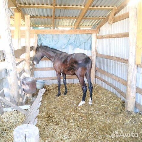 Лошадь  89280884007 купить 4