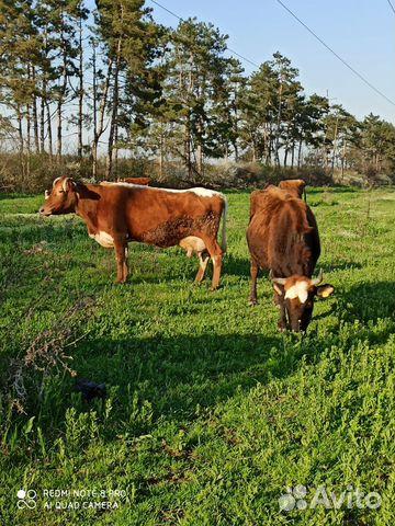 Корова  89380238070 купить 6