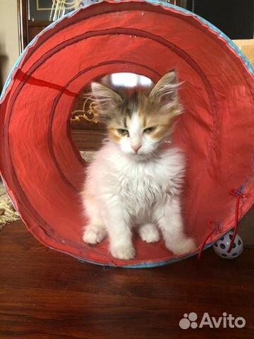 Котенок -Тигруня,девочка  купить 2