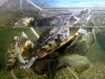 Черепашки красноухие без аквариума