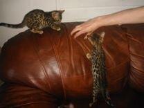 Бенгальские котята 2 месяца