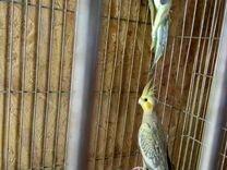 Попугаи неразлучники,кареллы и волнистые