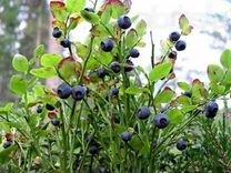 Черника садовая