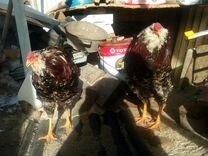 Петухи породистые: орловский, павловский