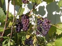 Подмосковный виноград