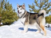 Продам щенка (девочку) 6 мес. аляскинского маламут