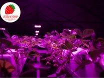 Готовый бизнес на выращивании клубники