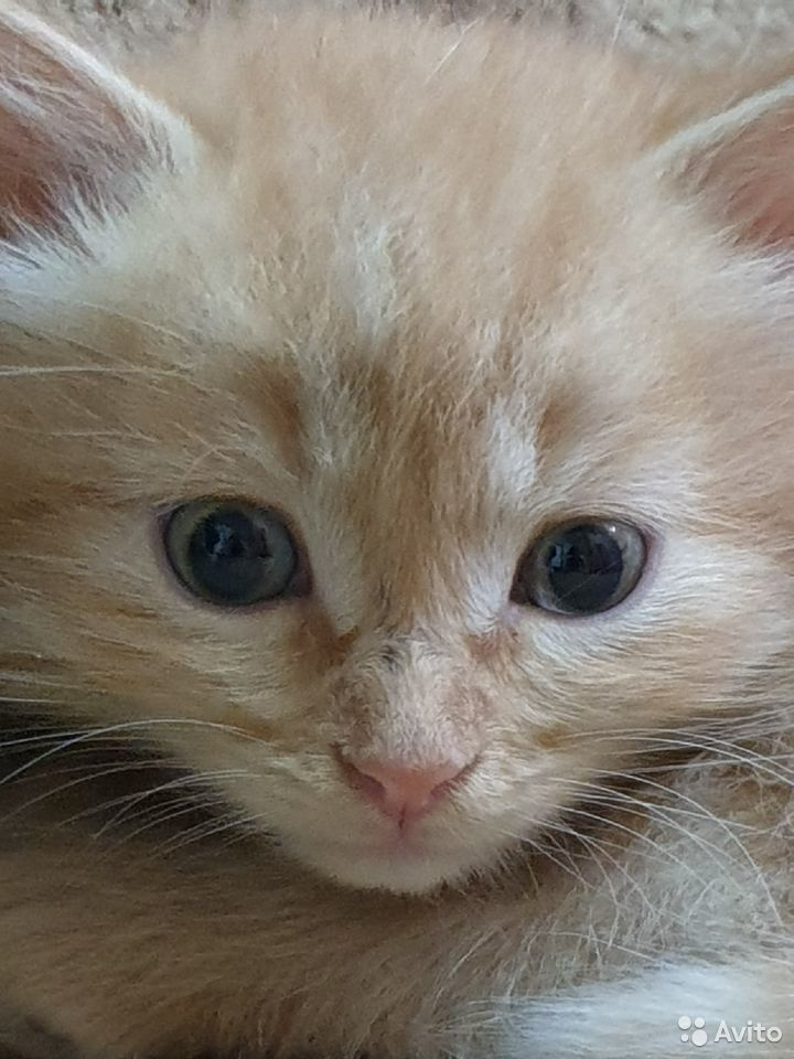 Кошка  89876768416 купить 2