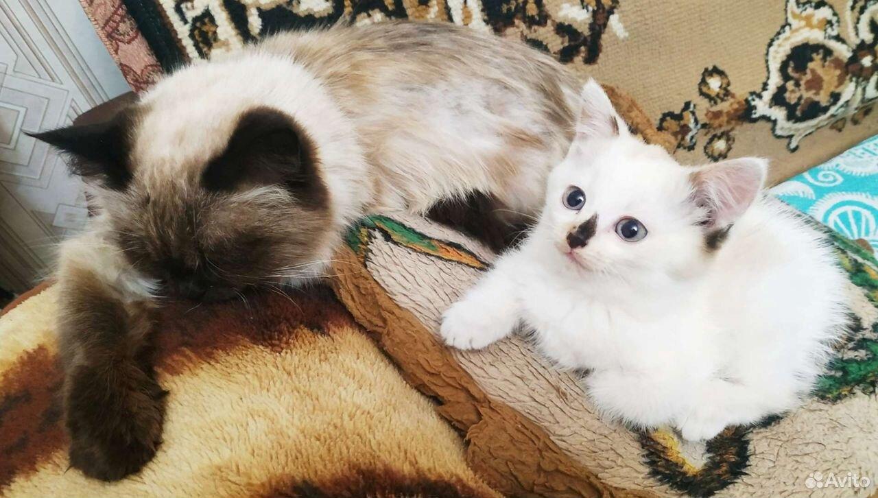 Кошка  89027334792 купить 2