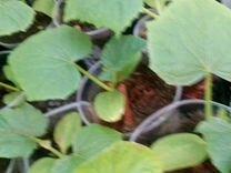 Рассада томатов, позднеспелой капусты, тыквы, каба